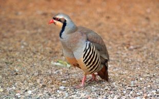 Phasianidae - Alectoris graeca - Rock Partridge - Πετροπέρδικα