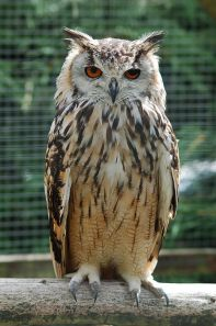 450px-Bengalese_Eagle_Owl