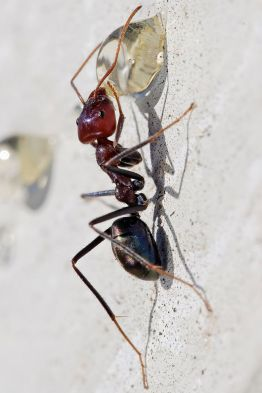 1200px-Meat_eater_ant_feeding_on_honey