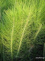 Equisetum plant